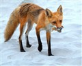 Red Fox on white sandy beach