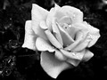 Rose B+W