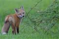 Teething Fox Kit