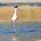 Black Neck Stilt