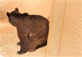 Brown Bear on the Wall