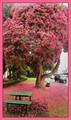 Rhododendron in Taumaranui