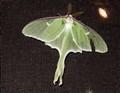 Luna Moth on door screen
