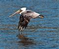 Pelican in flight - Moss Landing CA-1