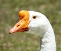 Portrait of a Male Chinese Goose