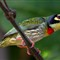 169_A01_Coppersmith_Barbet_2506