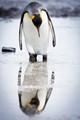 Penguin Study