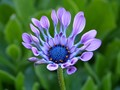 Spoon Shaped Petal African Daisy