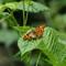 2019-06-16 11,44,49 Panasonic DMC-FZ2000 Insect Vlinder Gehakkelde aurelia (Polygonia c-album)