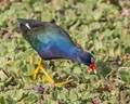 The Purple Gallinule, many at the wetlands this year. Orlando Florida