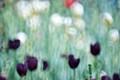 """Tulips """"à la Monet"""""""