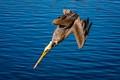 Diving Pelican-5049