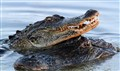 Gators Mating