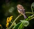 Female Goldfinch