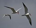 Tern Flight Path
