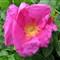 ~ Wild Pink Rose