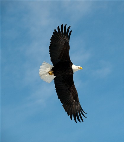 Eagle in Flight-3259998