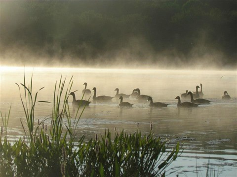 Misty Geese on Lake Henry
