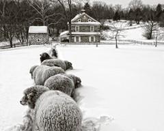 A sheepscape
