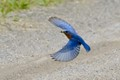 Eastern bluebird Dad with lunch for the kids