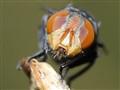 Hairy maggot blowfly