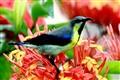 Sunbird-Moutushi