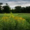 Compass Plant & Blackeyed Susans