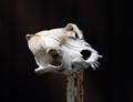 skull on metal stake
