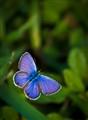 Ceraunus blue...