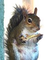 A Squirrel That Likes Fried Chicken