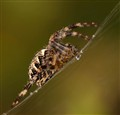 Simply - spider