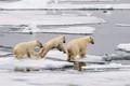arctic ocean polar bears above svalbard