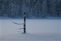 Lapland pine tree 1