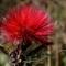 Cerrado red flower
