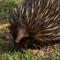 Echidna, Eastern Australia