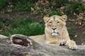 Zürich Zoo (Lioness)