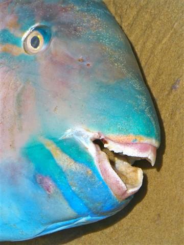 P1150209parrotfish2