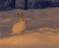 Midnight Winterhare.