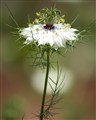 White Nigella Damascena