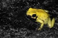 Yellow Terribilis (Golden Poison Dart Frog)