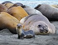 Fur Seal and watchful Elephant Seal