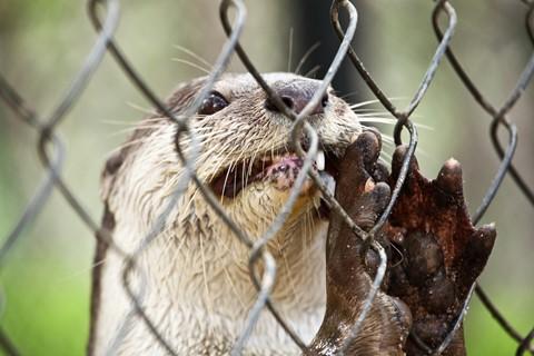 Otter_cambodia-1 resize