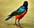 Superb Starling !