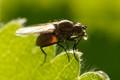 Backlit Fly Regurgitating Water Droplet