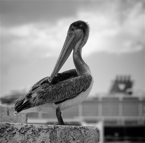 A resting Pelican with the Disney Fantasy cruise ship in the background.  Captured a few minutes ago in Cozumel, Mexico with my trusty Ricoh GXR and Voigtlander 50mm f-1.5 Nokton lens