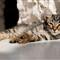 Cyprus Kitten