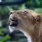 4025_Lion