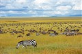 Zebras Amongst The Ubiquitous Wildebeast Migration