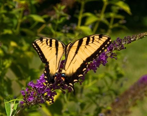 Butterfly_3918