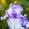 Iris wrinkle